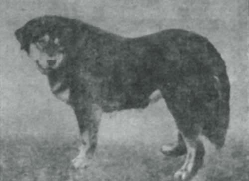 "Бурят-монгольский волкодав. Фото 30 г.г. ХХ века, журнал ""Собаководство"""