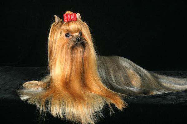 Взрослая собака шоу-класса