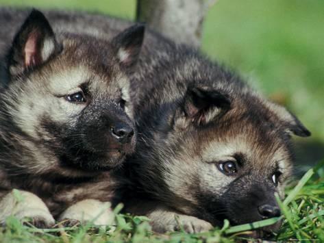 Взяв одновременно двух щенков норвежской лайки, можно легче решить вопросы социализации малышей