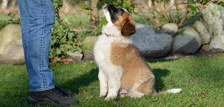 Воспитывая питомца хозяин должен проявлять уверенность, которая вскоре передастся и щенку