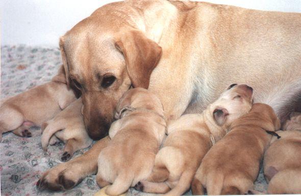 Во время выкармливания щенков собака вынуждена подстраиваться под новые потребности своего организма