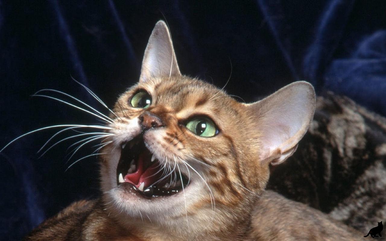 Во время гона страдающий кот может доставить массу проблем