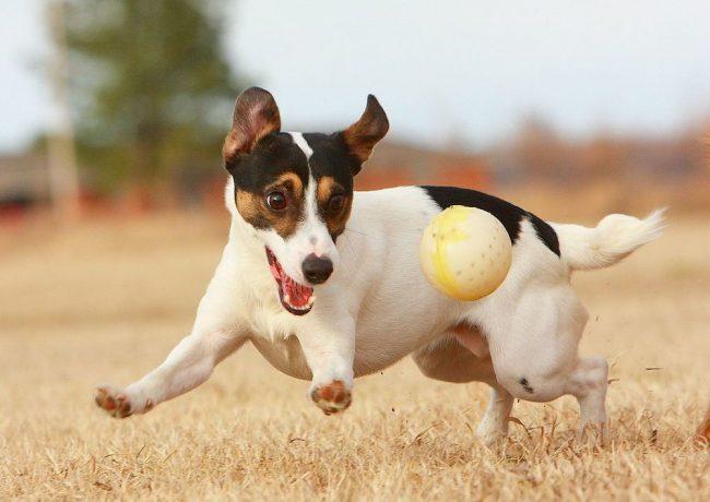 Выносливая и жизнерадостная собака