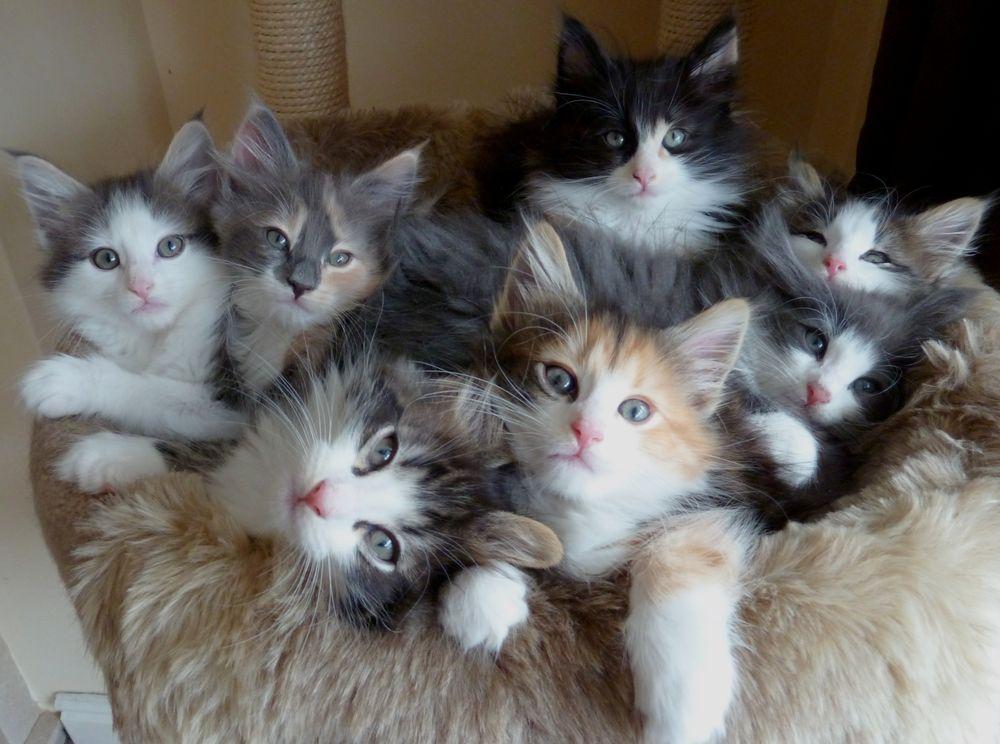 Вырастающие котята сбрасывают свою детскую шерсть и окончательно меняют ее на взрослую