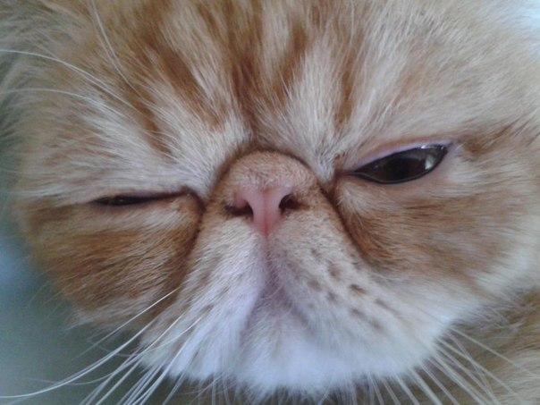 В силу специфики строения носовых пазух нос брахицефалов требует большего внимания со стороны ветеринара