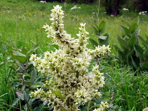 В силу ядовитости данного растения использовать его нужно со знанием возможных последствий