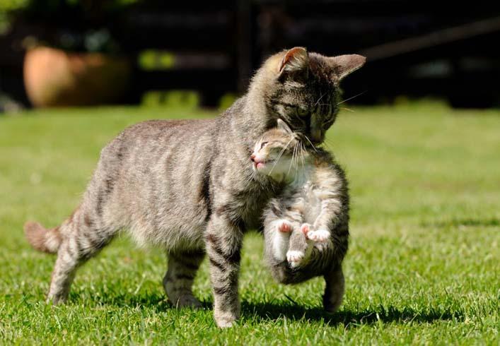 В такой позе котят носит мама-кошка, поэтому они не сопротивляются