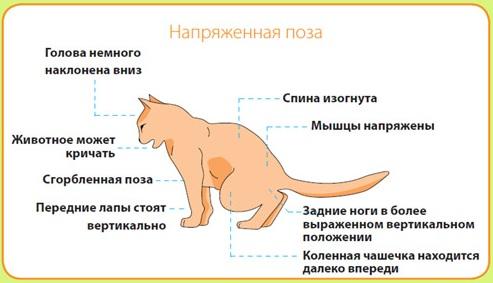 В такой позе мочится кот с МКБ