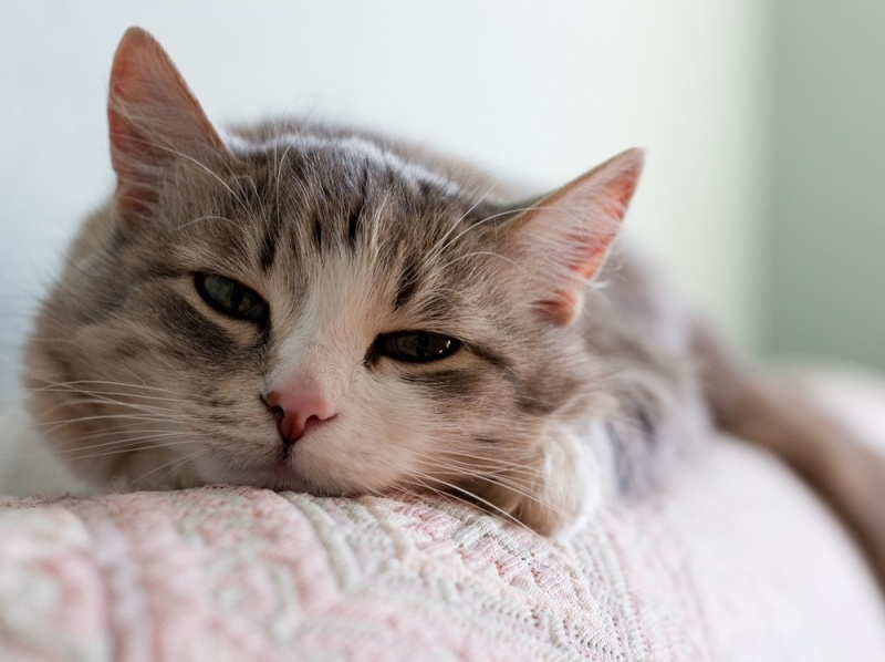 Гельминты вызывают у кошек потерю аппетита, вялость и другие симптомы