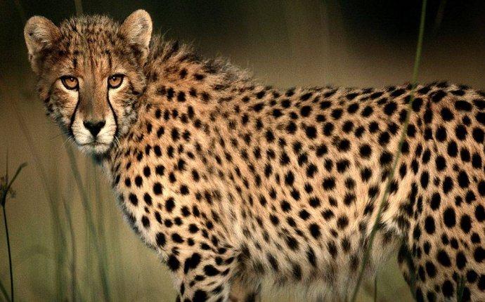 Генетика связывает породу с азиатским леопардом