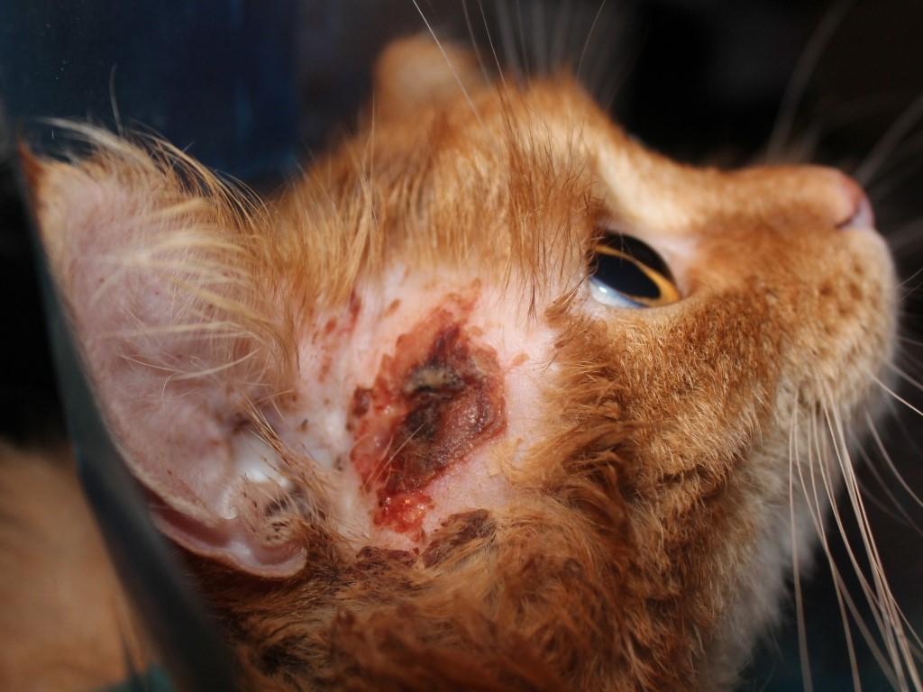 Гнойная рана у кошки