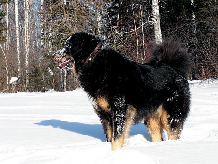 Густая шерсть защищает собаку от сильного мороза