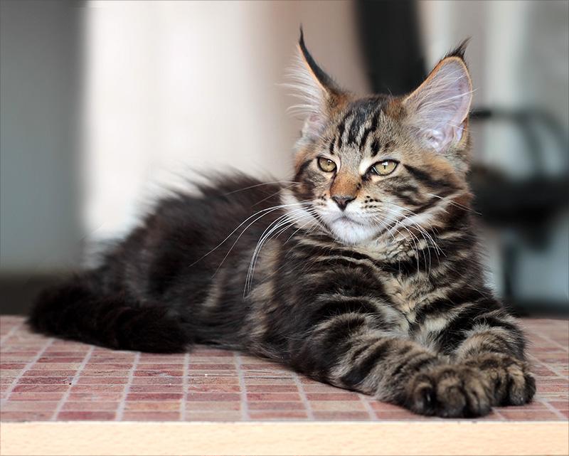Давать котенку сухой корм можно только после достижения месячного возраста