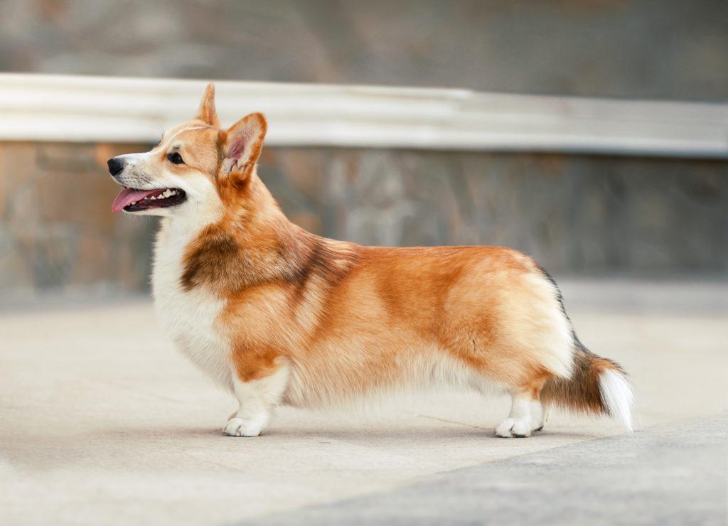 Декоративные собаки, ведущие домашний образ жизни, предрасположены к развитию геморроя