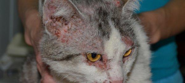 Дерматит может локализоваться не только на ушах, но и на морде животного