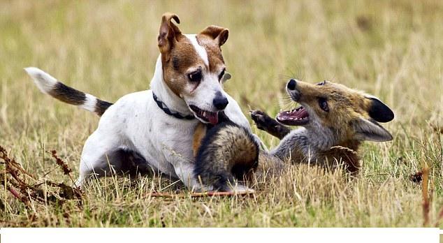 Джек-рассел-терьер - удачливый охотник