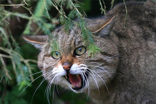 Дикие коты всегда имеют доступ к свежей сочной траве