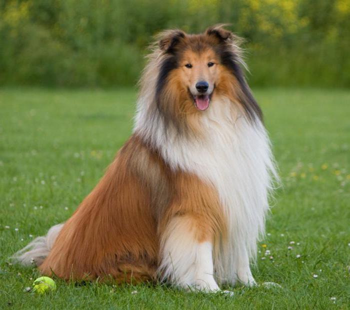 Длинношерстные собаки страдают гастритами чаще короткошерстных