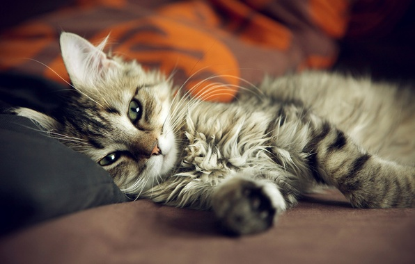 Линька домашних котов, как правило, не приурочена к сезону