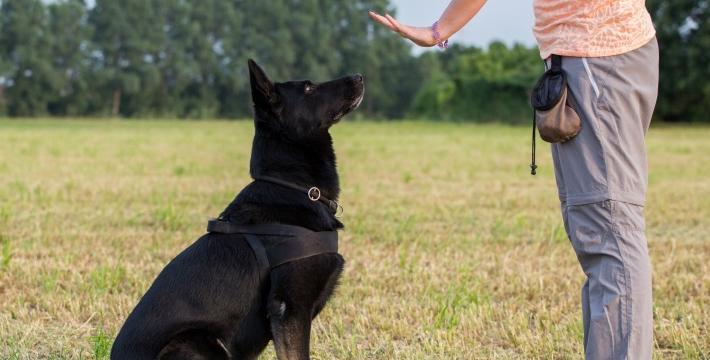 Домашнюю собаку вполне можно обучить ОКД самостоятельно