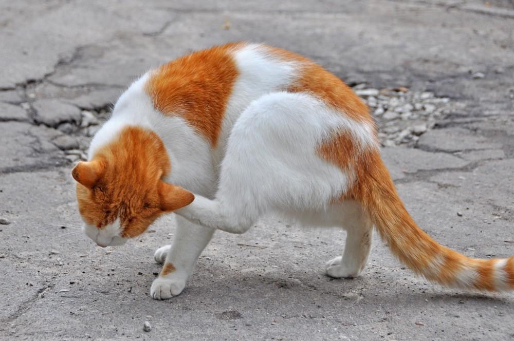 Если у кота блохи, дегельминтизация может быть неэффективной