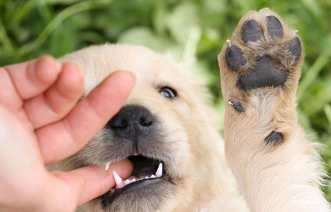 Если щенок начинает кусаться во время игры, необходимо сделать паузу