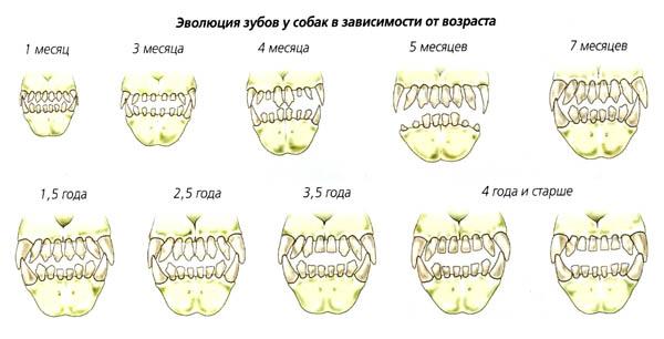 Зубы собак меняются с течением времени