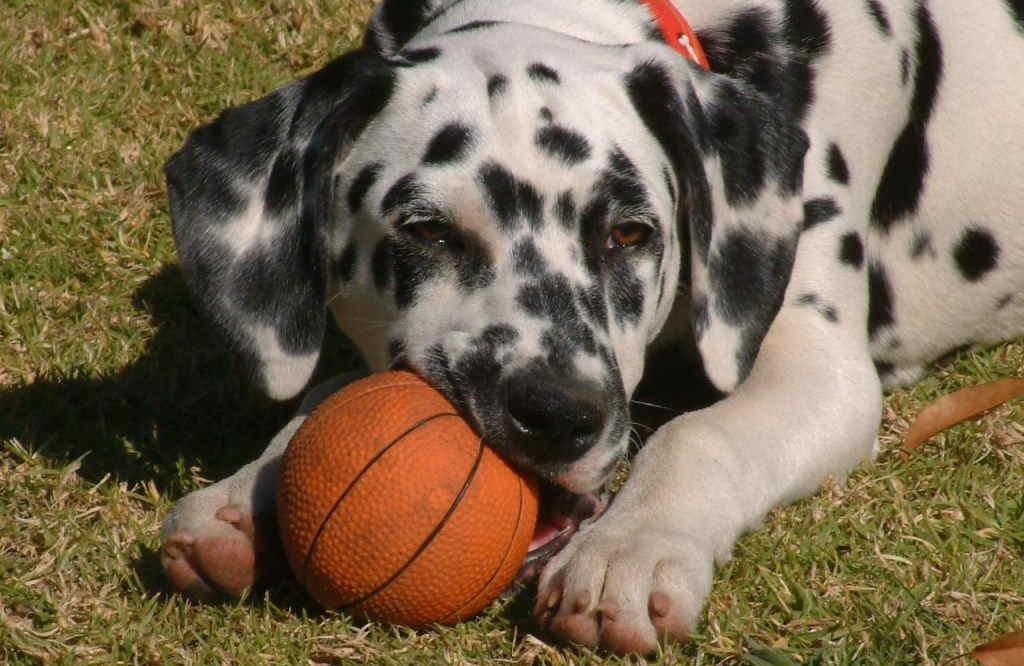 Иногда собака делится находками с хозяином, чтобы вызвать у него похвалу