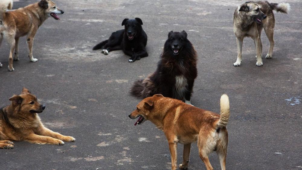 Инфекция может передаваться от зараженной собаки к здоровой