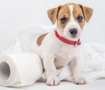 Как приучить щенка к туалету на улице