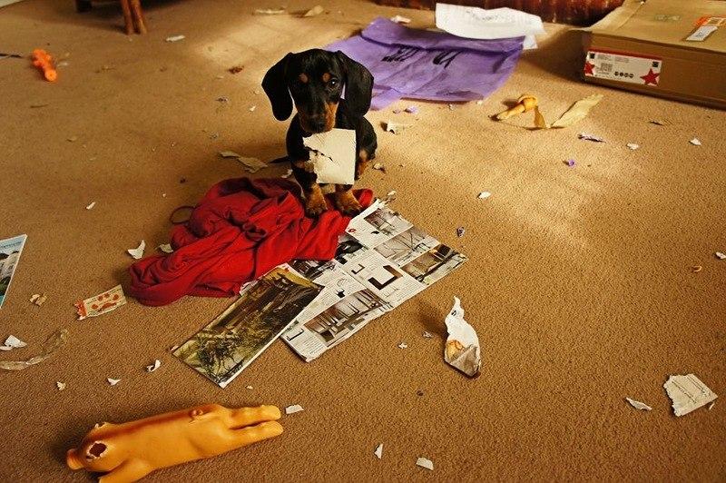 Беспорядок в квартире — последствие стресса у собаки