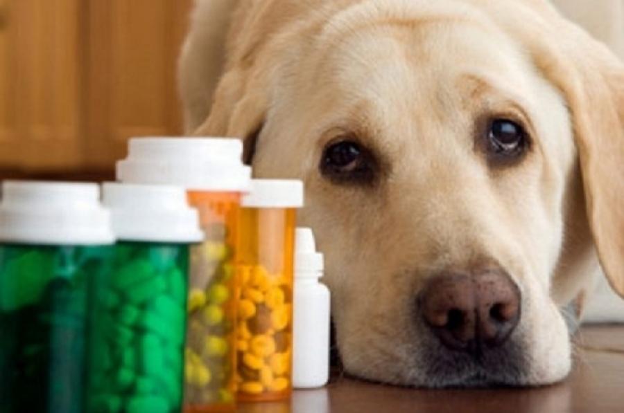 Когда животное принимает лекарства, результат анализа мочи может получиться необъективным