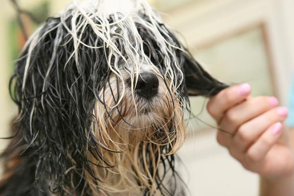Колтуны придают неопрятный вид. Как расчесать колтуны у собаки?