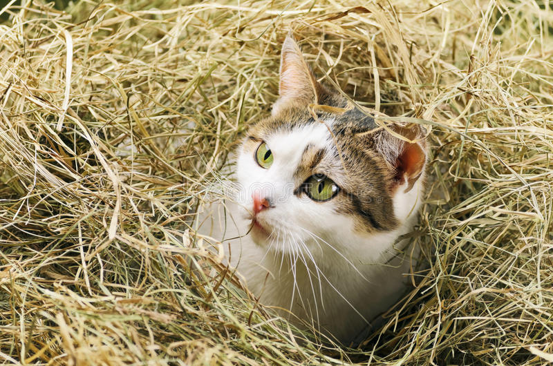 Колючее сено с легкостью провоцирует раздражение нежной кожи кошки
