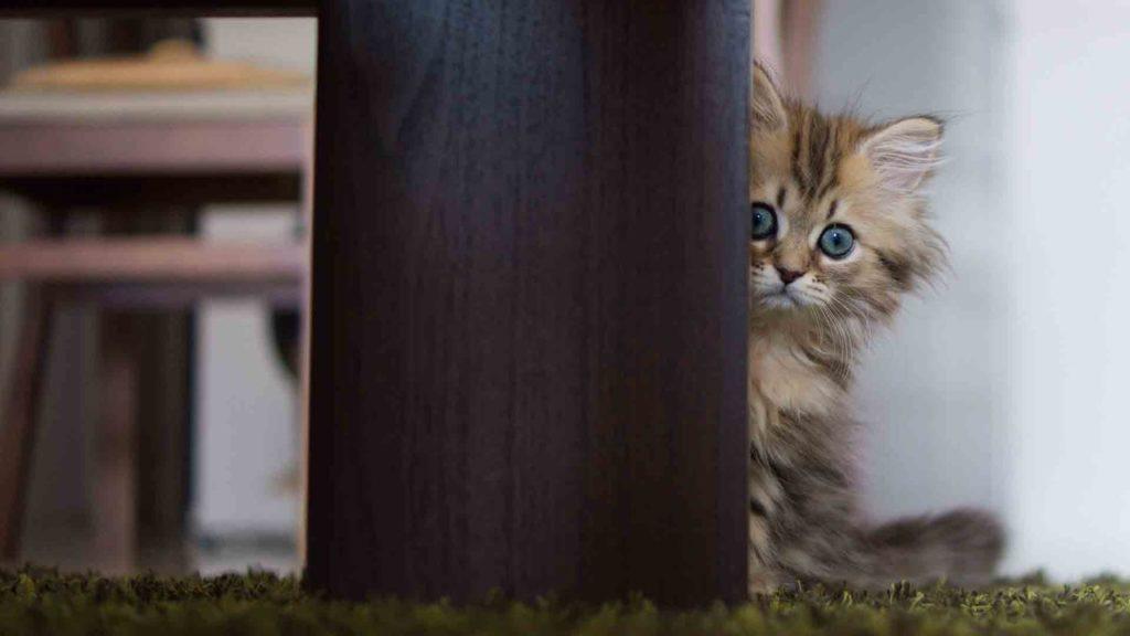 Котенок начнет привыкать к лотку после того, как попривыкнет к новой обстановке