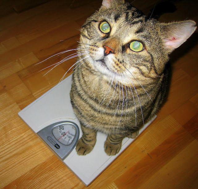 Ожирение у кошек - проблема или нет