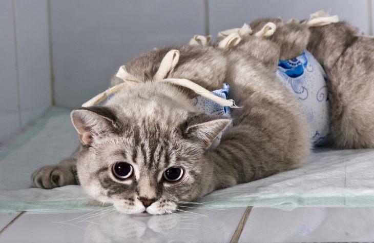Кот после кастрации