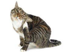 Кот расчесывает ухо