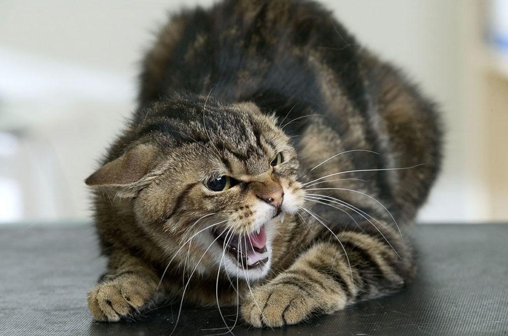 Кот с травмированной боюшной полостью будет проявлять агрессию при попытках хозяина прощупать ее