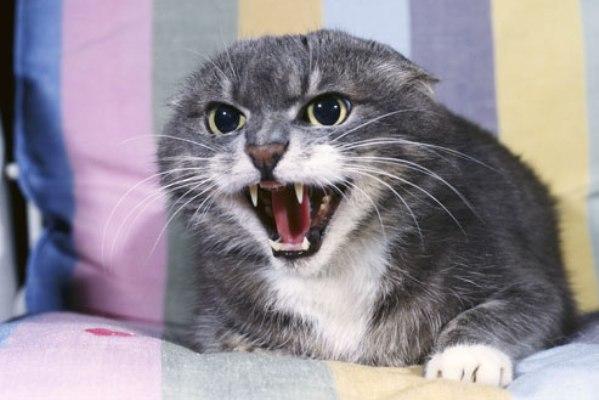 Кошка агрессивно настроена против кота