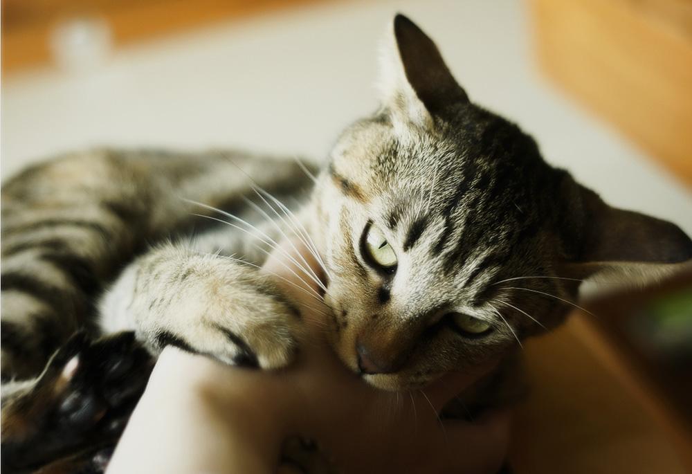 Кошка может кусать хозяина от недостатка внимания