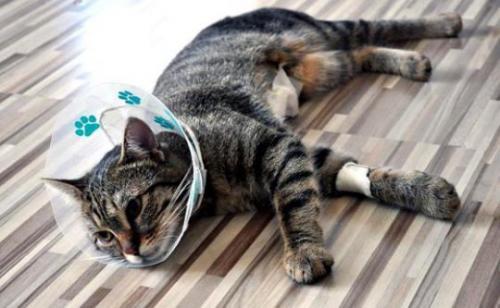 Кошка после удаления инородного тела из кишечника