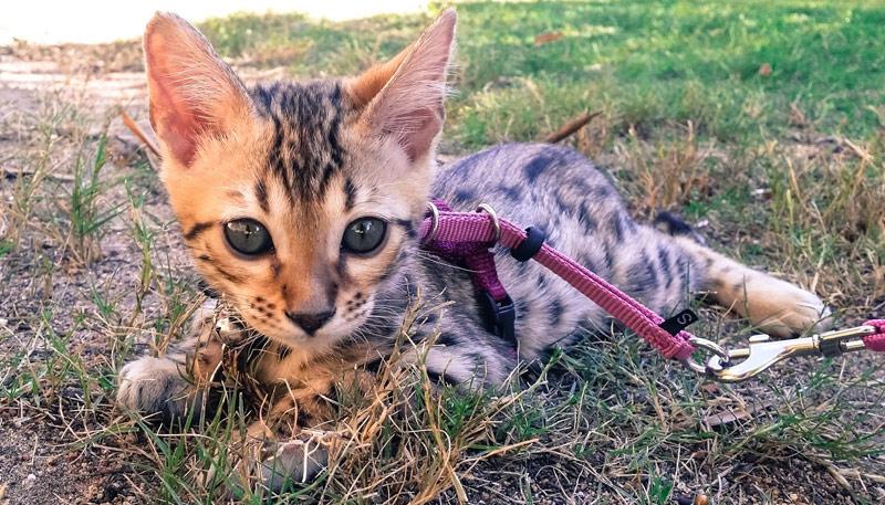 К поводку котёнка приучают с 3 месяцев