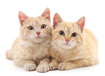 Ложная беременность может появиться после контакта с беременными кошками