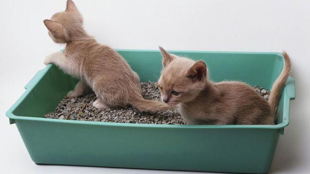 Лоток для котят должен соответствовать размерам питомцев