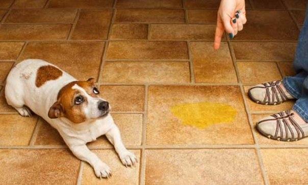 Лужи за собакой нужно убирать немедленно