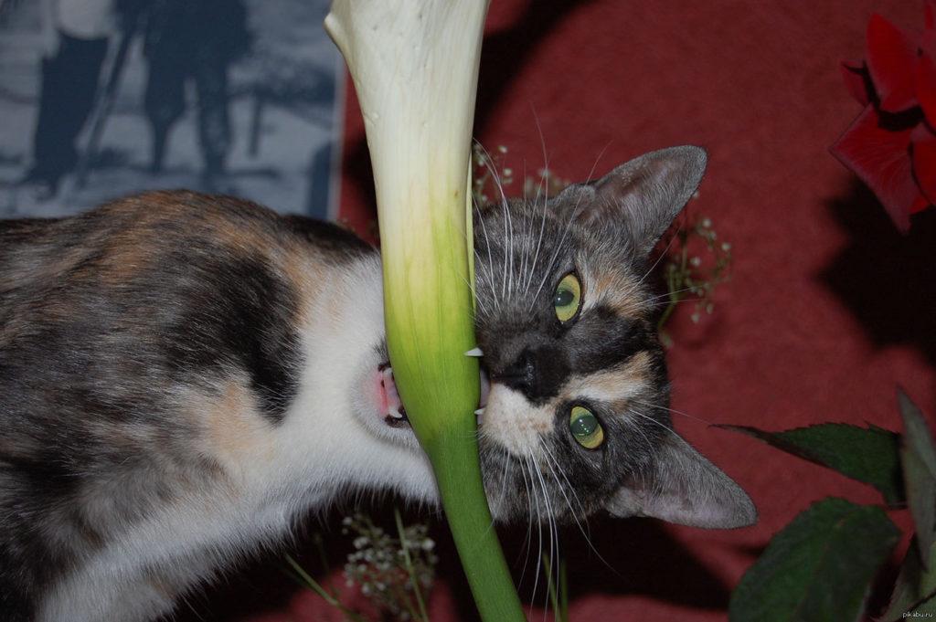 Любопытство кота, направленное на экзотические цветы может привести к пагубным последствиям