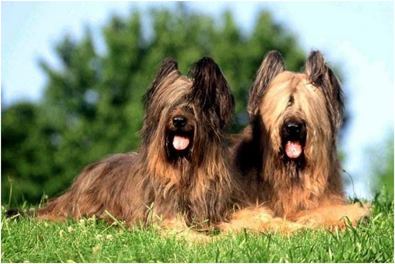 Наполеон очень любил бриаров и всегда брал с собой собак этой породы во многие походы