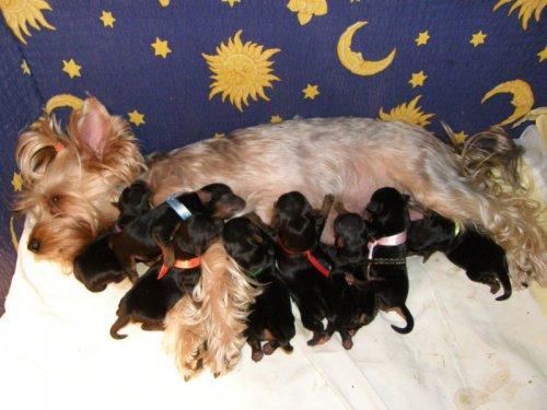 Недавно рожденные щенки йорка