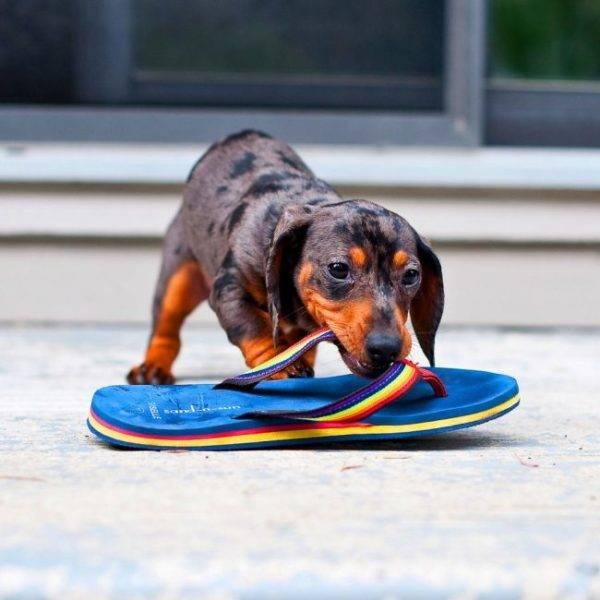 Нельзя разрешать щенку играть с обувью